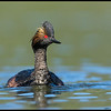 Eared Grebe apparently interested in the reflection from the lens.