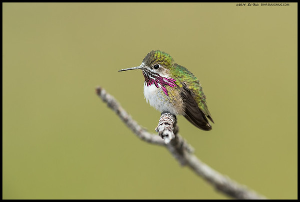 The light had been off and on with the clouds forming over Cuyamaca and Middle Peak, and while I had gotten shots of the Calliope Hummingbird, I really was hoping to get some closeups.  Then it landed ~15' away on a branch sticking up from a fallen pine while I was standing there.