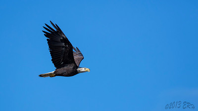 One of the now resident Bald Eagles soaring over Lake Cuyamaca.
