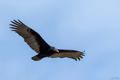 Even Turkey Vultures get a shot.
