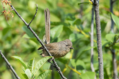 One of the Wrentit's took a brief break from bouncing limb to limb.