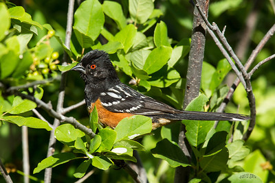 Spotted Towhee hiding in the brush.  Original is 3200x2134.