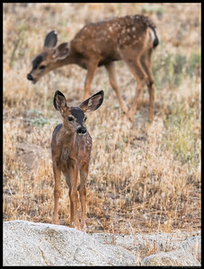 After the sun had dropped behind Middlepeak, the fawns were still out and about..  You can see the small bare patches on the ground and it is only August so this winter is going to be a rough one, especially for the little ones.