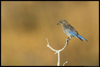 Juvenile Western Bluebird.