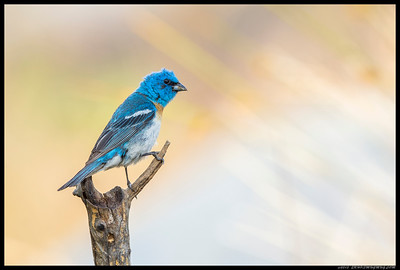 This Lazuli Bunting posed for a few shots after the sun dropped behind the treetops.