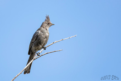 Female Phainopepla.  Go ahead, say it three times fast.