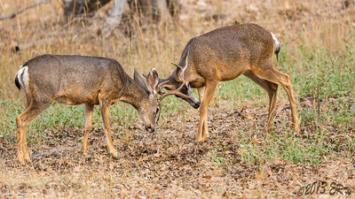 A practice bout between a pair of 'young bucks'.  The best part is being this close to the action without interrupting their natural behavior.