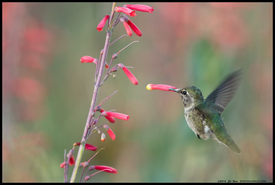 """""""I brokeded the flower""""  Juvenile Anna's Hummingbird unknowingly removing a bloom."""