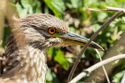 A juvenile Black Crowned Night Heron emerges from the reeds less than 15' from where I had set up to catch the Sora.