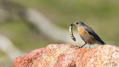 Western Bluebird with a huge caterpillar breakfast.  The interesting part for me was watching this one hover directly in line with the sun thinking 'too bad I can't get a shot of that' when it dove and came up with this caterpillar.  Then it flew around me and landed on the rock.  Over the next few minutes it repeatedly smashed the caterpillar into the rock until it stopped fighting.