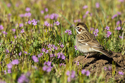 Choices, Choices...  Lark Sparrow in a field of wildflowers.