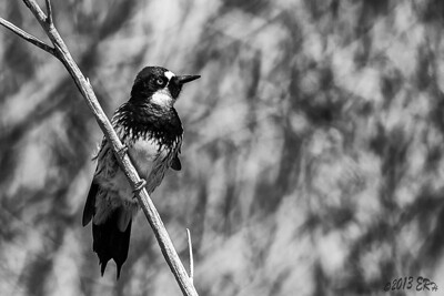 Acorn Woodpecker converted to B&W
