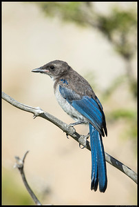 A juvenile Western Scrub Jay in between calls for food.