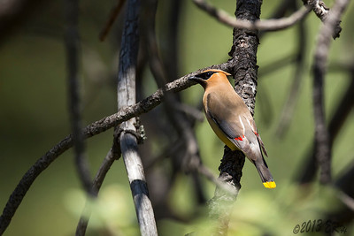 Lots of Cedar Waxwings were making their way through the berry bushes.