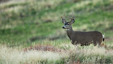 Mule Buck always in search of greener grass.