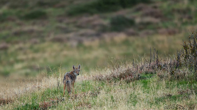 One of the coyote pair I inadvertently spooked.  This was taken around 15 minutes after sunset, hard to judge accurately since the sun had been behind a mountain for half an hour prior.