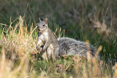 Western Gray Squirrel who was looking for a place to bury this acorn.