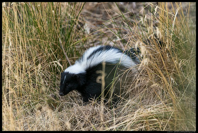 Sam the Skunk taking a momentary break between grubbing for some supper.