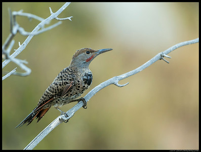 This Northern Flicker male hopped around the branches for a bit, followed shortly by a female.