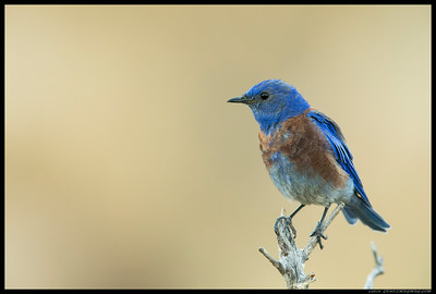 A Western Bluebird paused for a moment in front of the camera.