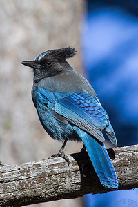 Steller's Jay.  These guys are usually very noisy and avoid the camera, especially if they are in the sun.