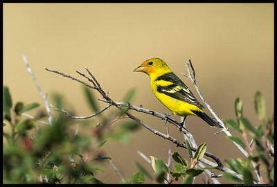 Male Western Tanager changing into winter attire.