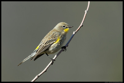 Yellow Rumped Warbler taking a brief break between catching insects.