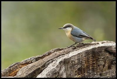 Pygmy Nuthatch looking up after checking out the remains of a large oak.