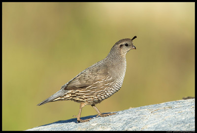 Female California Quail on the way back from the spring.