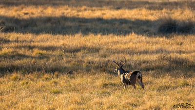 A lone buck heading towards the herd of does for the evening.