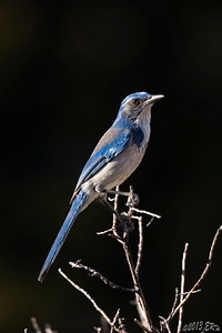 Western Scrub Jay posing against the shadows in the late afternoon light.