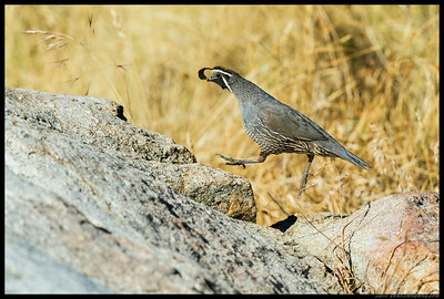 This California Quail was practicing for the high jump.