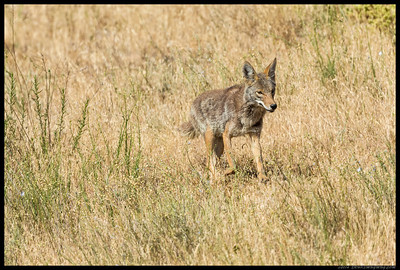 Coyote on the move.  About 15 seconds later, this one noticed me, probably from the 1DX shutter clicks.