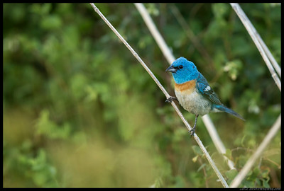 Lazuli Bunting.  This fellow liked to hop from bright sun to dark shadows, and back again.
