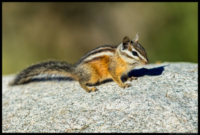 Merriam's Chipmunk.  This was lap two of checking my threat status.  Apparently I passed.