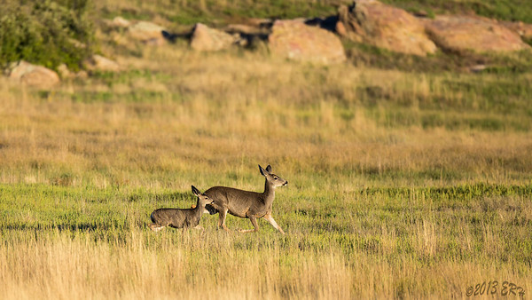 The sun was about to set behind the mountains as this doe and her fawn ran in unison across the exposed plain to catch the rest of the herd.