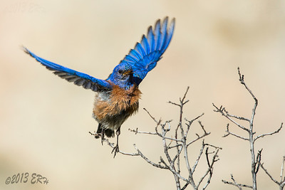 Western Bluebird taking flight.  This guy was part of a flock nearly 20 strong, including fledglings, that stopped by to take advantage of the water.