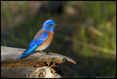 Probably the brightest Western Bluebird I've ever seen, he was really hard to miss. Earlier in the morning he and misses had been investigating potential nesting locations.