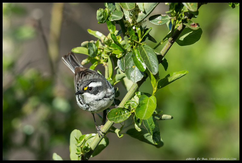 A female Black Throated Gray Warbler took a moment out from playing pest control to pose for me.