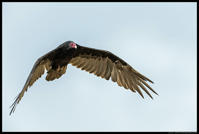 The much maligned Turkey Vulture making a low pass.