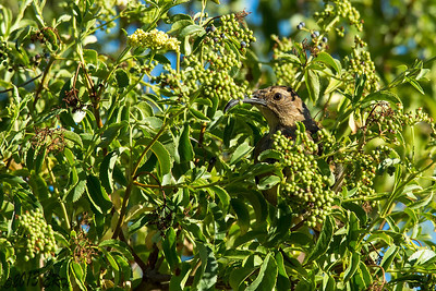 California Thrasher in the role of 'Berry Inspector'.  Verdict, berries are still too green for the most part.