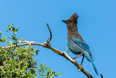 Steller's Jay out in the open.  They usually like to hide in the shadows.