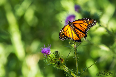 Several large Monarchs were fluttering around and the thistles seemed to be their favorite.