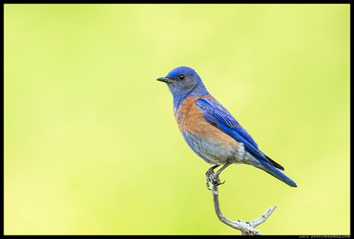 Papa Bluebird keeping a close eye on the surrounding while the fledglings get a drink.