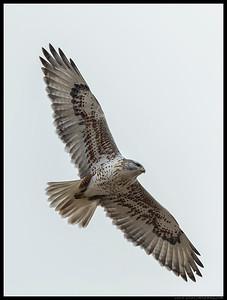 Ferruginous Hawk on a lower ring.