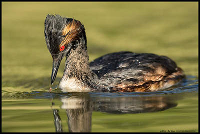 The Eared Grebe was determined to recapture a tasty snack.