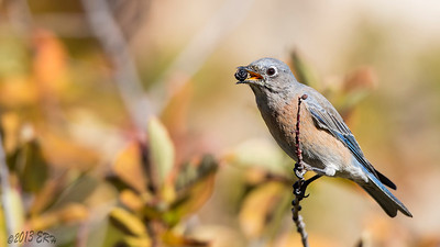 One of the Western Bluebirds paused for a moment to eat a dried berry.