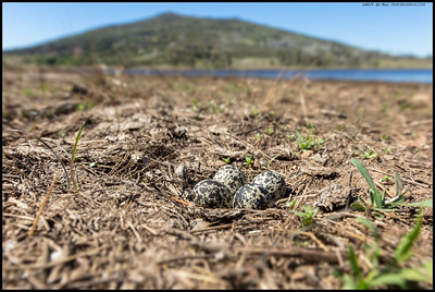 A nest of Killdeer eggs taken on the shores of what was the eastern side of Lake Cuyamaca.  In the background is North Peak.