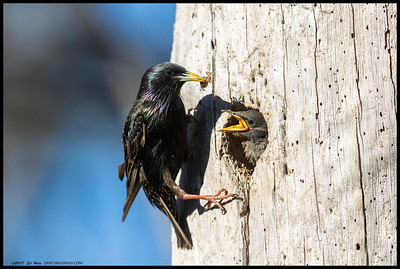 One of the adult European Starlings bringing a tasty bug to one of the pair of babies.