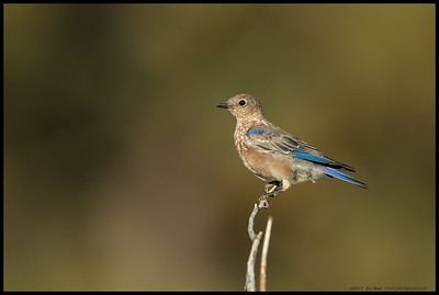 One of the juvenile Western Bluebirds starting lose the spots.
